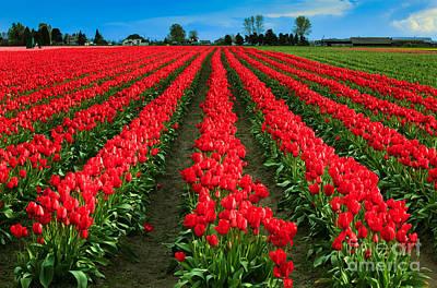 Tulip Cornucopia Poster by Inge Johnsson