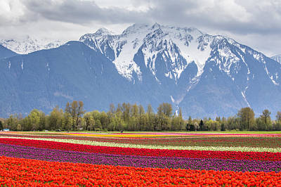 Tulip Field Surrounded By Snow Capped Mountains Poster by Pierre Leclerc Photography