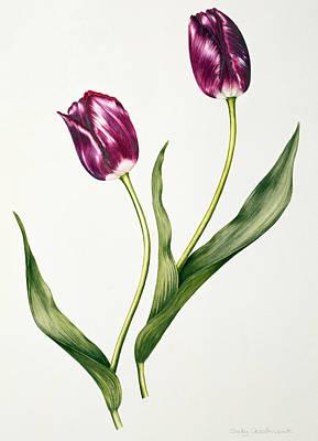 Tulip Negrita Poster by Sally Crosthwaite