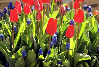 Tulipa And Muscari Poster by Adrian Thomas