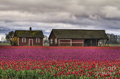 Tulips And Barns Poster by Mark Kiver