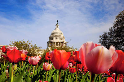 Tulips Below The Us Capitol Building Poster by Brian Jannsen