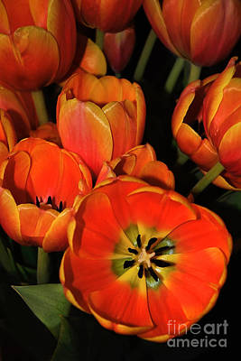 Tulips Of Fire Poster by Kaye Menner