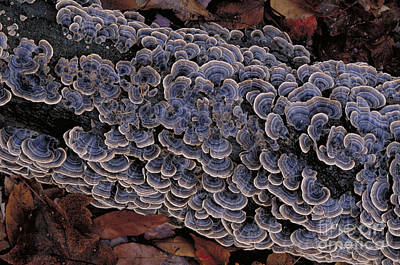 Turkey Tail Trametes Versicolor Poster by Larry West
