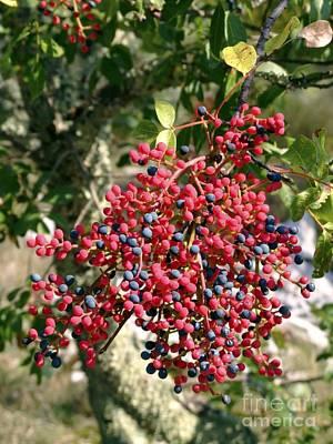 Turpentine Fruit (pistacia Terebinthus) Poster by Martyn F. Chillmaid