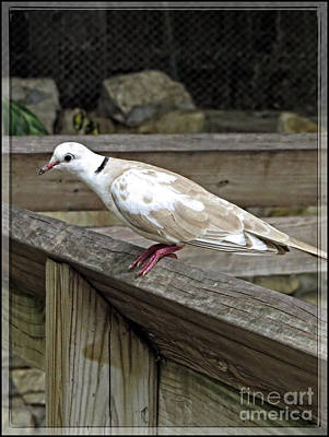 Turtle Dove - Symbol Of Peace Poster by Ella Kaye Dickey