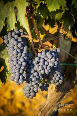Tuscan Vineyard Poster by Brian Jannsen