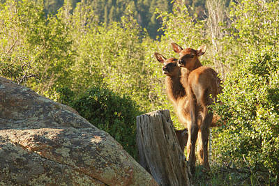 Two Baby Elk Looking Back Poster by Piperanne Worcester