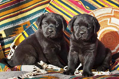 Two Black Labrador Retriever Puppies Poster by Zandria Muench Beraldo