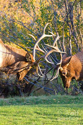 Two Bull Elk Sparring Poster by James BO  Insogna