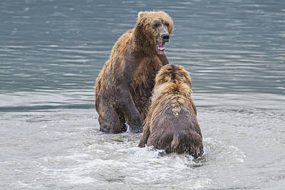 Two Coastal Brown Bears Face-off In An Poster by John Delapp