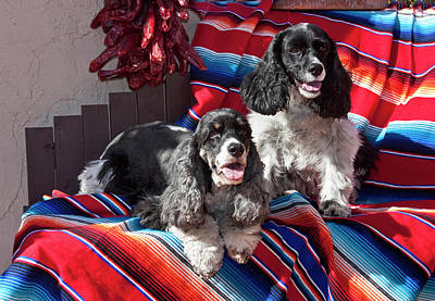 Two Cocker Spaniels Together Poster by Zandria Muench Beraldo