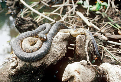 Two Color Morphs Of Northern Water Snake Poster by Gregory G. Dimijian, M.D.