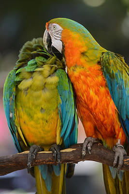 Two Colorful Macaws Poster by Brandon Bourdages