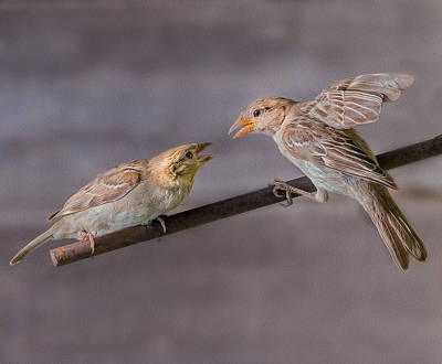 Two Finches Poster by Rick Barnard