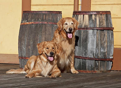 Two Golden Retrievers Next To Two Poster by Zandria Muench Beraldo