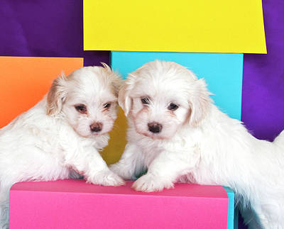 Two Havanes Puppies With Colorful Poster by Zandria Muench Beraldo