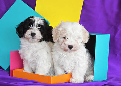 Two Havanese Puppies Sitting Together Poster by Zandria Muench Beraldo