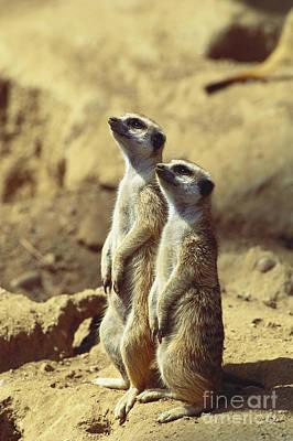 Two Meerkats Poster by Art Wolfe