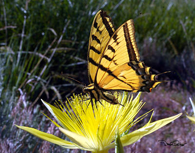 Two-tailed Swallowtail Poster by David Salter