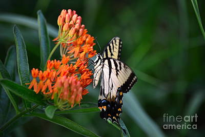 Two-tailed Swallowtail Poster by Holden Parker