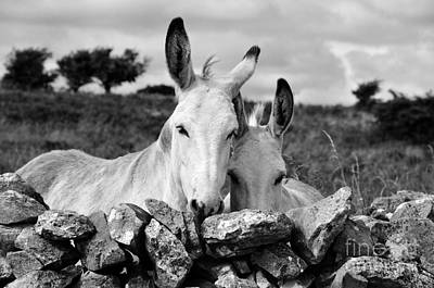 Two White Irish Donkeys Poster by RicardMN Photography