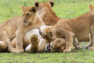 Two Young Lion Cubs Playfighting While Poster by James Heupel