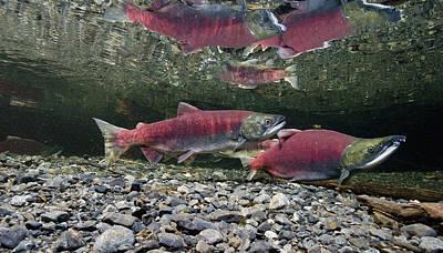 Underwater View Of Sockeye Salmon Poster by Thomas Kline