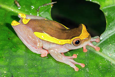 Upper Amazon Treefrog Poster by Dr Morley Read