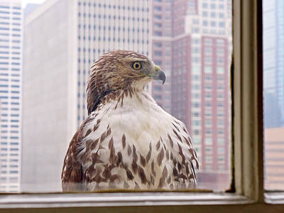 Urban Red-tailed Hawk Poster by Rona Black