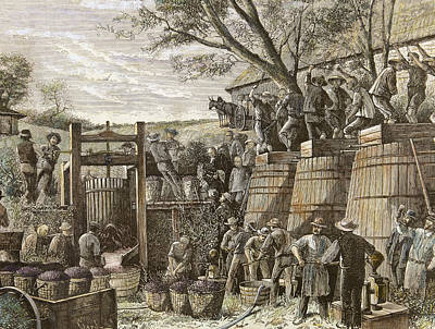 Usa. California. 19th Century. Chinese Workers Treading Grapes. Engraving Poster by Bridgeman Images