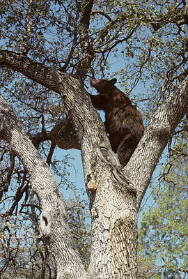 Usa, California, Black Bear In Oak Poster by Gerry Reynolds