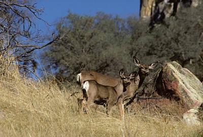 Usa, California, Mule Deer, Doe Poster by Gerry Reynolds
