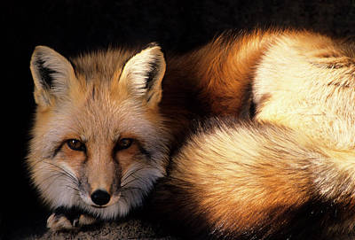 Usa, New Mexico, Red Fox Poster by Gerry Reynolds