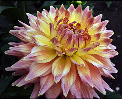 Variegated Giant Dahlia Poster by Ellen Tully