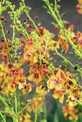 Verbascum 'clementine' Flowers Poster by Adrian Thomas