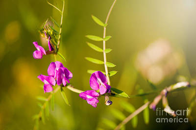 Vicia Or Vetch Pink Flowering In Meadow Macro Poster by Arletta Cwalina