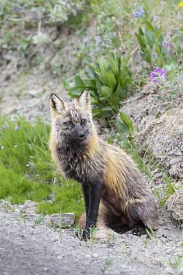 View Of A Cross Fox Hunting Poster by Lynn Wegener