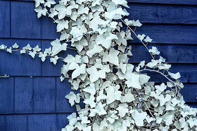 Vine Leaves Against A Blue Wall Poster by Randall Nyhof