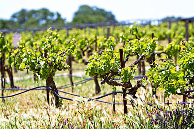 Vineyard With Young Plants Poster by Susan  Schmitz