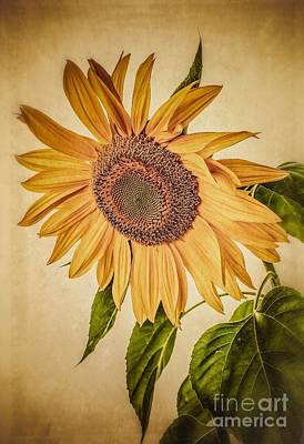 Vintage Sunflower Poster by Edward Fielding