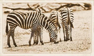 Vintage Zebras Poster by Dan Sproul