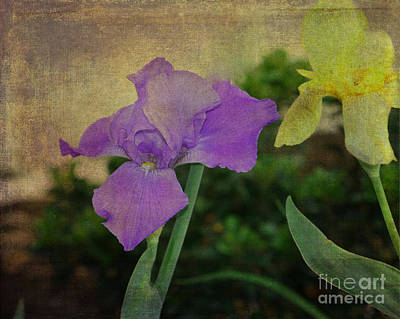 Violet And Yellow Irises  Poster by Amanda Collins