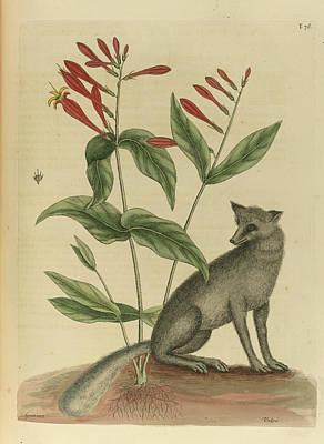Vulpis Cinereus Americanus Poster by British Library
