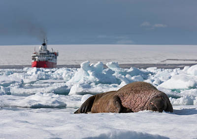 Walrus Bull Odobenus Rosmarus Poster by Panoramic Images