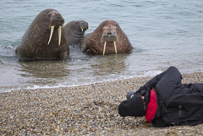 Walruses Photographed By Tourists Poster by Peter Cairns