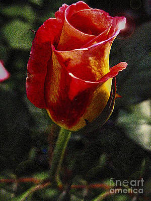 Warm Color Rosebud With Variegated Petals  Poster by ARTography by Pamela Smale Williams