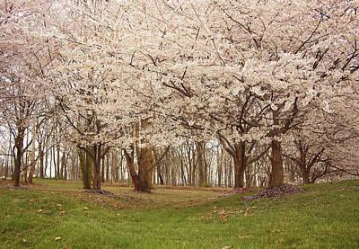 Washington Dc Cherry Blossoms Poster by Kim Hojnacki