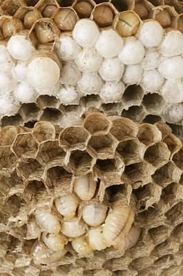 Wasp Nest Poster by Cordelia Molloy