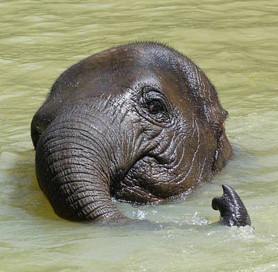 Watch My Trunk - Young Asian Elephant Poster by Margaret Saheed